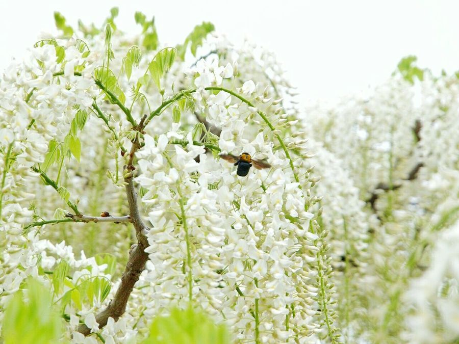 White White Flowers White Color Spring Natural Photo Morning Flower Boke Japan Spring Flowers EyeEm Nature Lover Flowers Huji