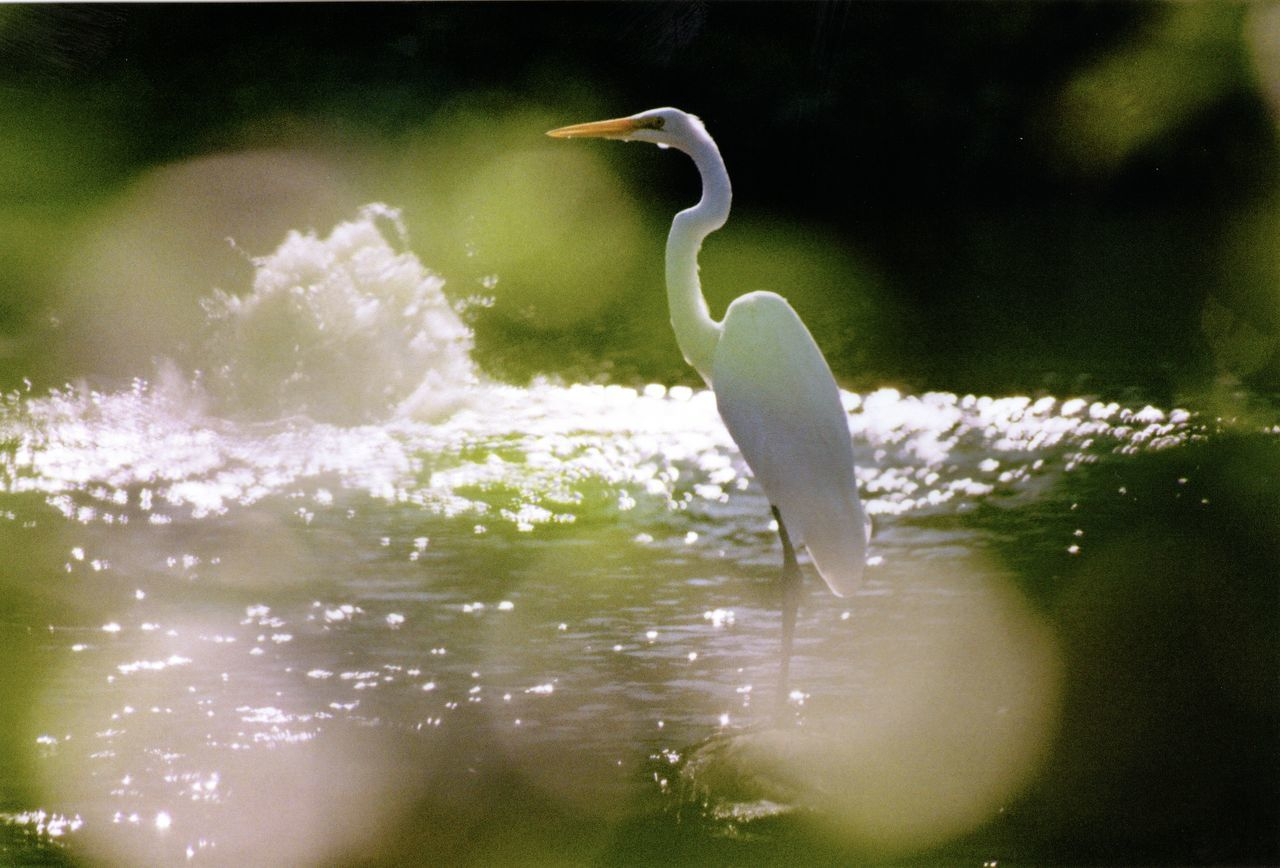 35mm Film Animal Themes Animal Wildlife Animals In The Wild Beauty In Nature Bird Day Egret Film Film Photography Great Egret Heron Lake Minolta Minolta Maxxum Nature No People One Animal Outdoors Water