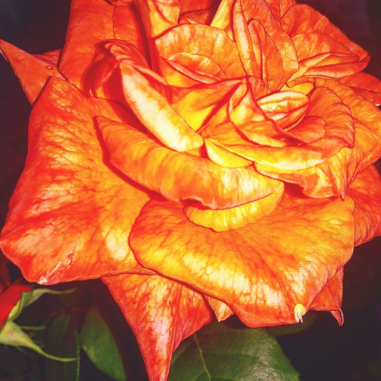 flower, petal, flower head, beauty in nature, nature, fragility, orange color, freshness, rose - flower, close-up, growth, plant, outdoors, no people, leaf, blooming, day