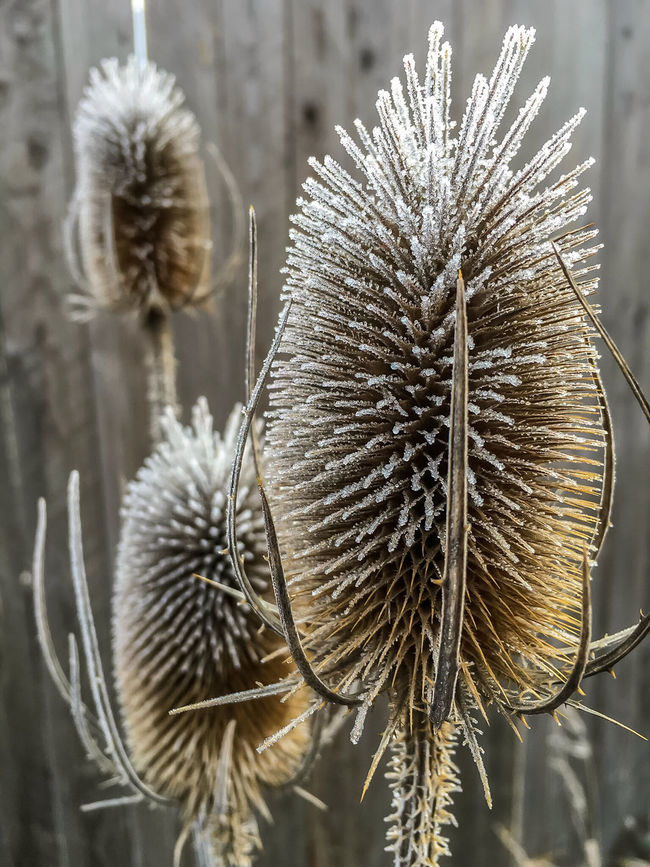 frosted plants in front of a wooden fence Botany First Frost Focus On Foreground Hoar Frost Nature No People Plant Thistle Flower White Frost Winter Winter Day