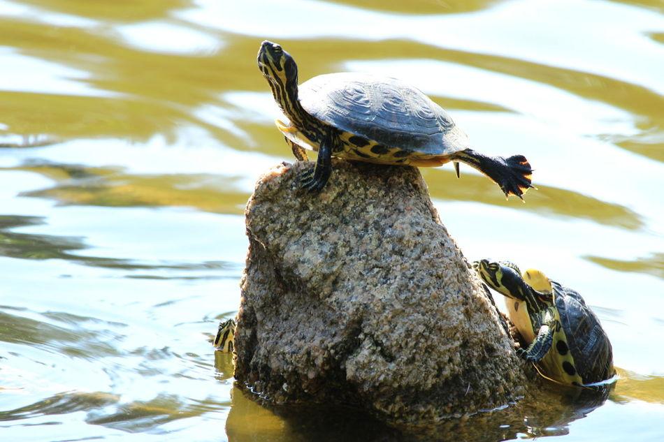 La danza della tartaruga. Turtle's dance Turtle Turtles Turtle Love Turtle 🐢 Turtlelover Turtles(: Turtle Lake  Tartaruga Tartarughe Fontana Delle Tartarughe Tartarugas Tartarughina Fontanadelletartarughe Tartaruguinhas