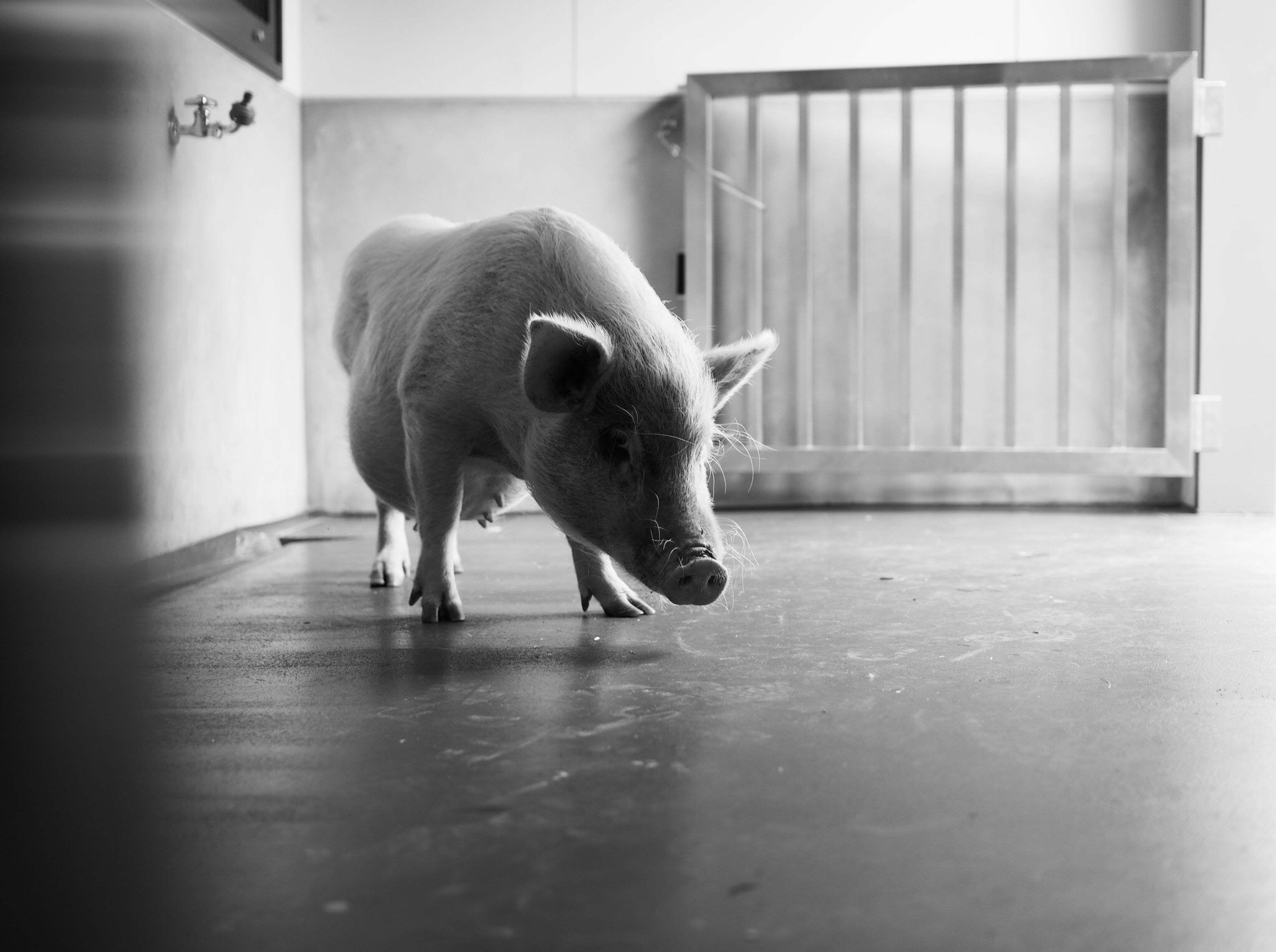 animal themes, one animal, domestic animals, pets, mammal, full length, indoors, dog, walking, door, built structure, side view, architecture, looking away, day, standing, white color, no people, zoology, front view
