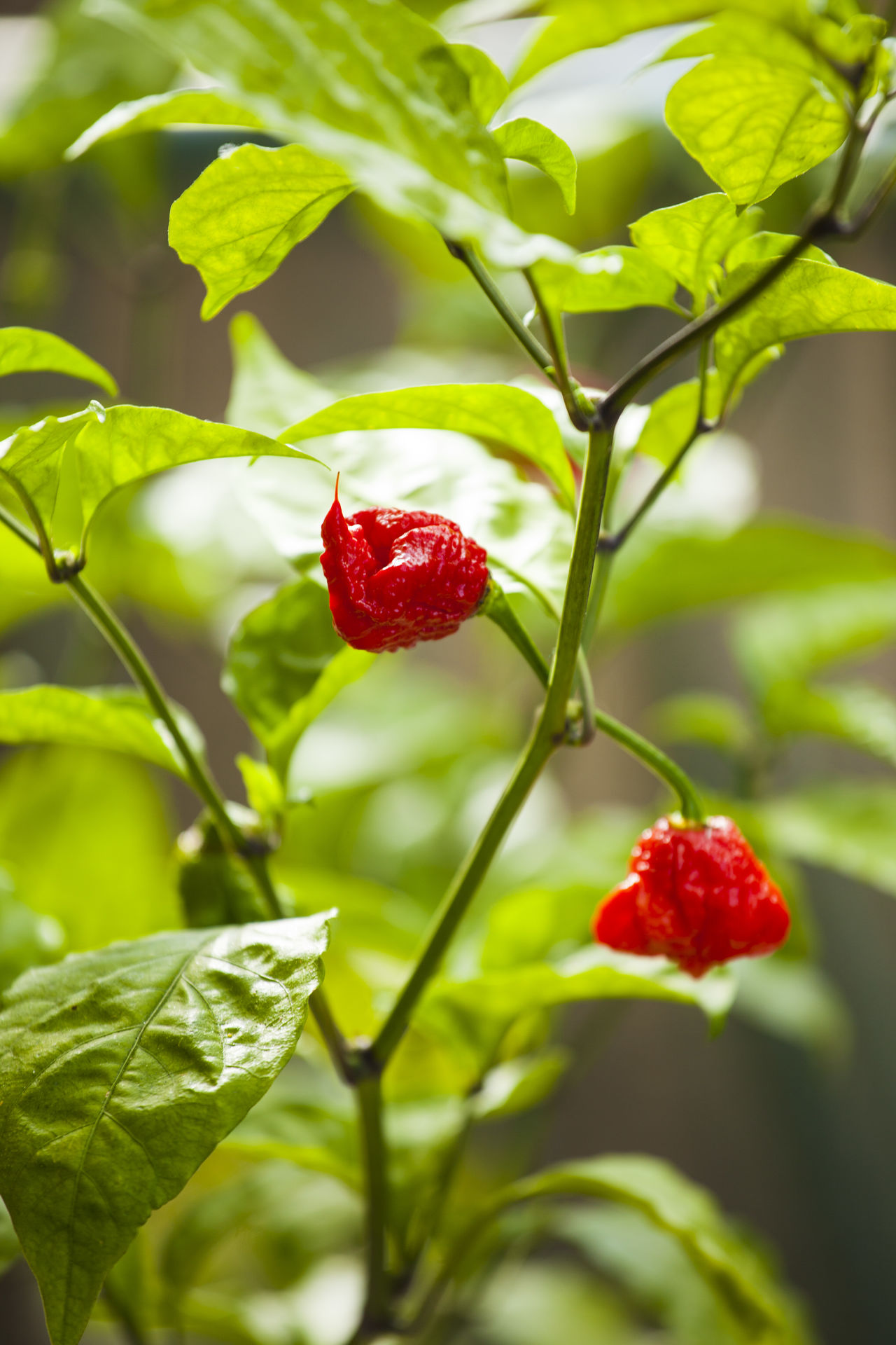Agriculture Backgrounds Carolina Reaper Close-up Day Farm Fragility Freshness Fruit Full Frame Gourmet Growth Healthy Eating Hot Day Hot Pepper Hot Peppers Plants Leaf Nature No People Outdoors Plant Red Summer