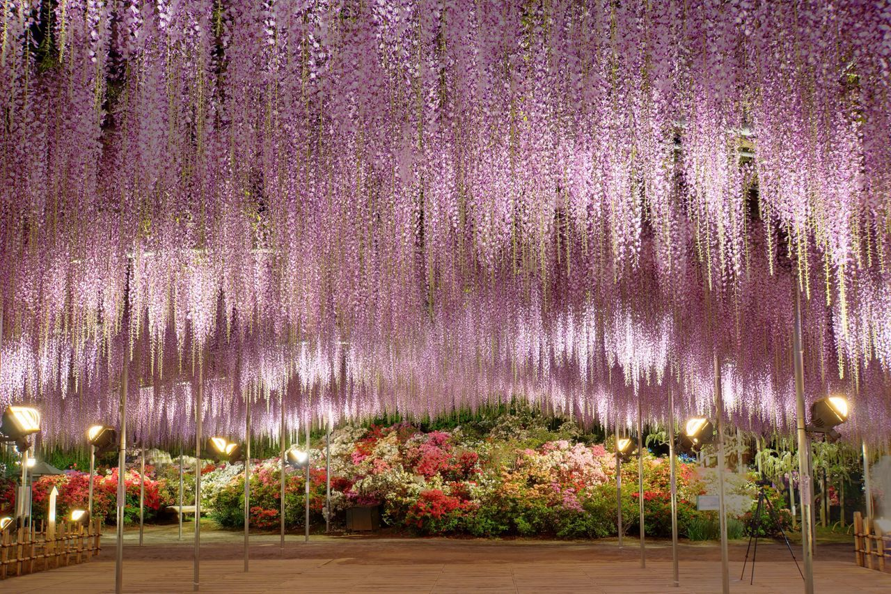 Beautiful stock photos of nacht, Ashikaga, Beauty In Nature, Bloom, Cropped