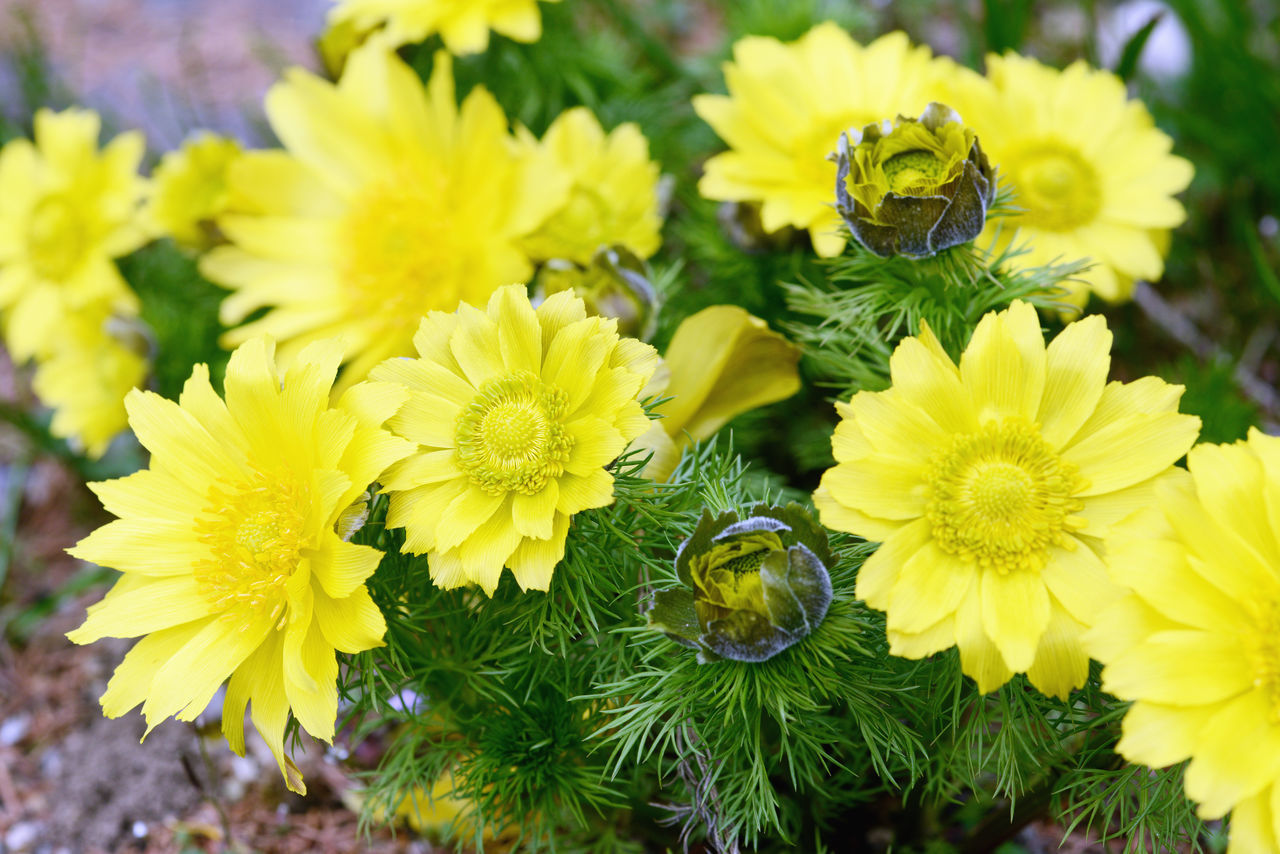 spring pheasant's eye (Adonis vernalis) also known as yellow pheasant's eye and false hellebore. Adonis Adonis Vernalis Adonisröschen Blooming Flower Flower Head Freshness Growth Herbal Outdoors Pheasant Pheasants Plant Poison Poisonous Yellow Yellow Color Yellow Flower Yellow Flowers