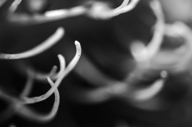 Black Black & White Black And White Blackandwhite Close Up Close-up Curled Up Curve Extreme Close Up Extreme Close-up Focus On Foreground Fragility Freshness Fruit Growth Macro Monochrome Monochrome Photography Nature Plant Repetition Selective Focus Shadow Spiked