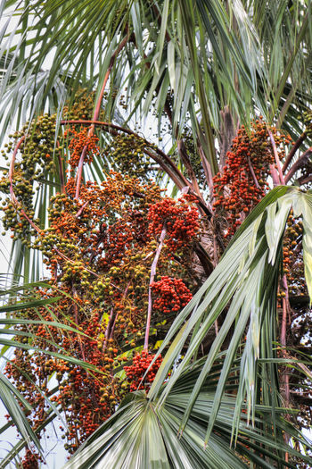 Beauty In Nature Day Fruits Growth Jungle Kenyir Kenyir Lake Leaf Malaysia Nature No People Outdoors Palm Palm Tree Palm Tree Red Fruits Tree Tropical