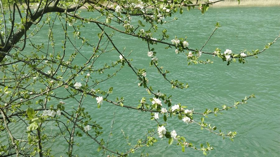 Just like Van Gogh blossoming almond tree ... Aare River Blossom
