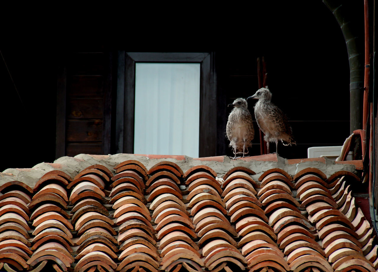 Birds Chiks Nestlings Ornate Roof Roof Tile Rooftop