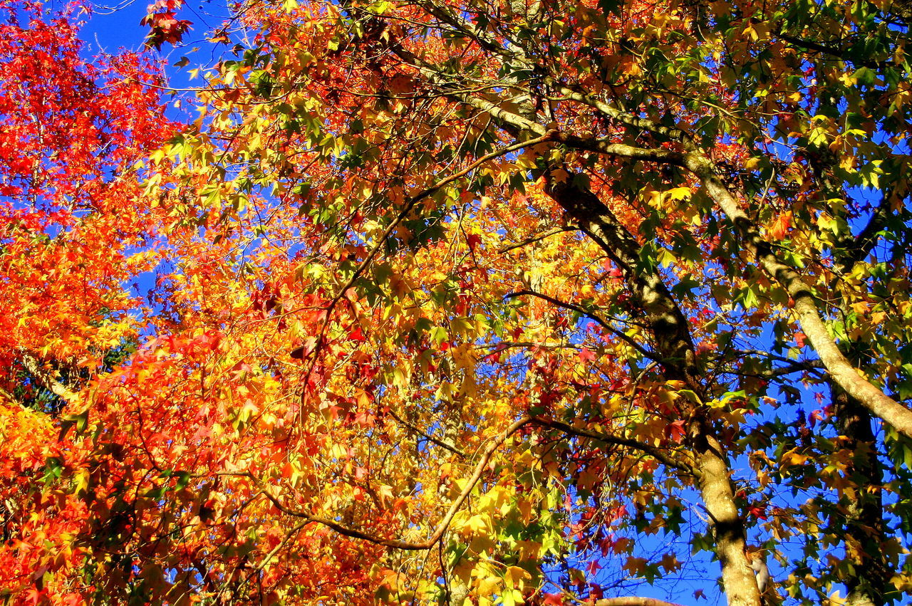 autumn, change, leaf, tree, beauty in nature, nature, maple tree, branch, growth, low angle view, scenics, maple leaf, outdoors, day, tranquility, backgrounds, no people, maple, multi colored, close-up, sky, freshness