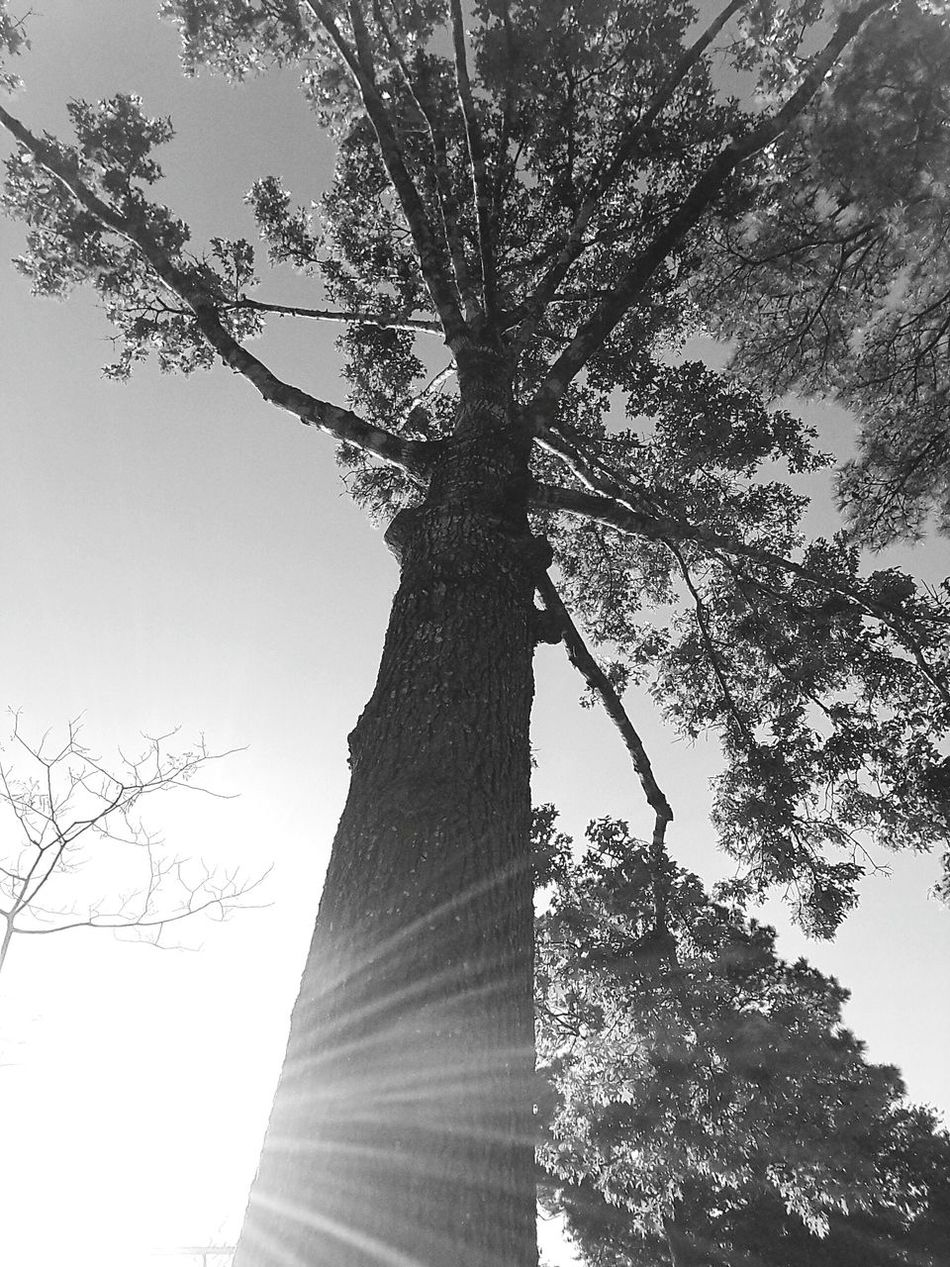 Tree Low Angle View Sky Nature Branch Clear Sky No People Outdoors Day Close-up Beauty In Nature Single Tree Black And White Popular Photos Photography Look Up Lensflare Natural Light