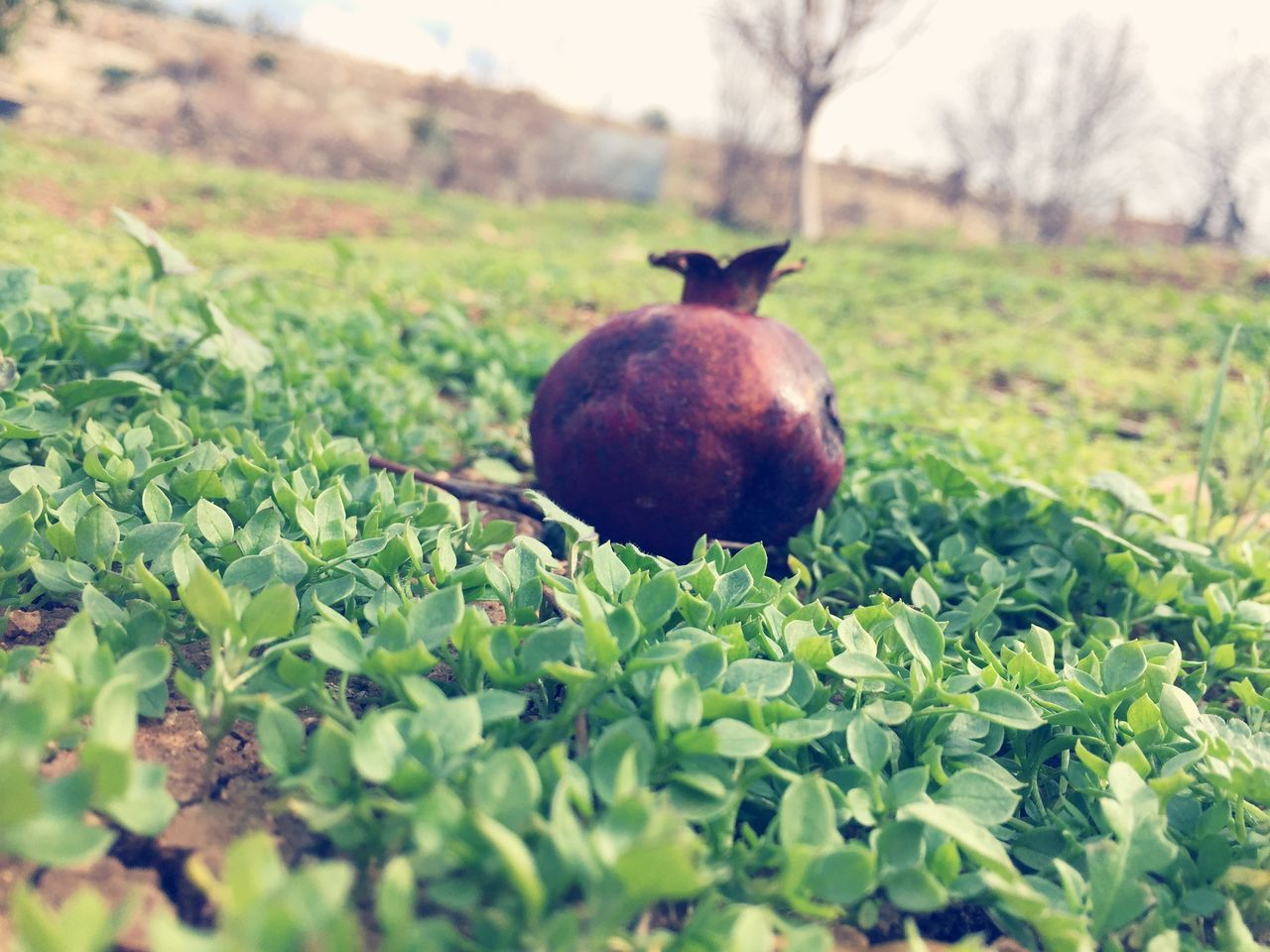 Fruit Grass Nature Outdoors Beauty In Nature Jordan Middle East Green Color