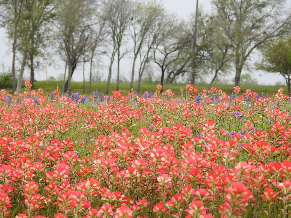 Indian Paintbrush Flowers Texas Bluebonnets Beauty Of The Country Side Landscape_photography