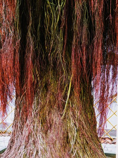 The back shot of a red haired lady...😂😂😂 Edited My Way Creative Editing Creative Power From My Point Of View Inspired By Nature Inspirations Everywhere. Color Manipulation Graphic Nature Hair Like Roots Tree Root Collection Tree Roots  Connected With Nature Tree Trunk Tree_collection  Tree Porn Tree Art Look Twice... Just Having Fun Just Being Creative !