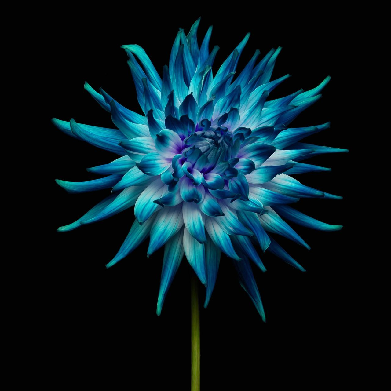 Beautiful stock photos of flowers, Beauty In Nature, Black Background, Blue, Close-Up