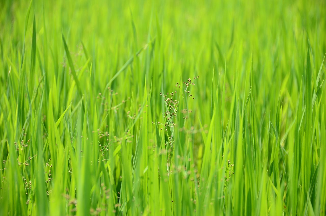 Rice Field Growth Green Color Rice Paddy Outdoors Agriculture Rural Scene Beauty In Nature Grass Green Nature Tree Green Green Green!