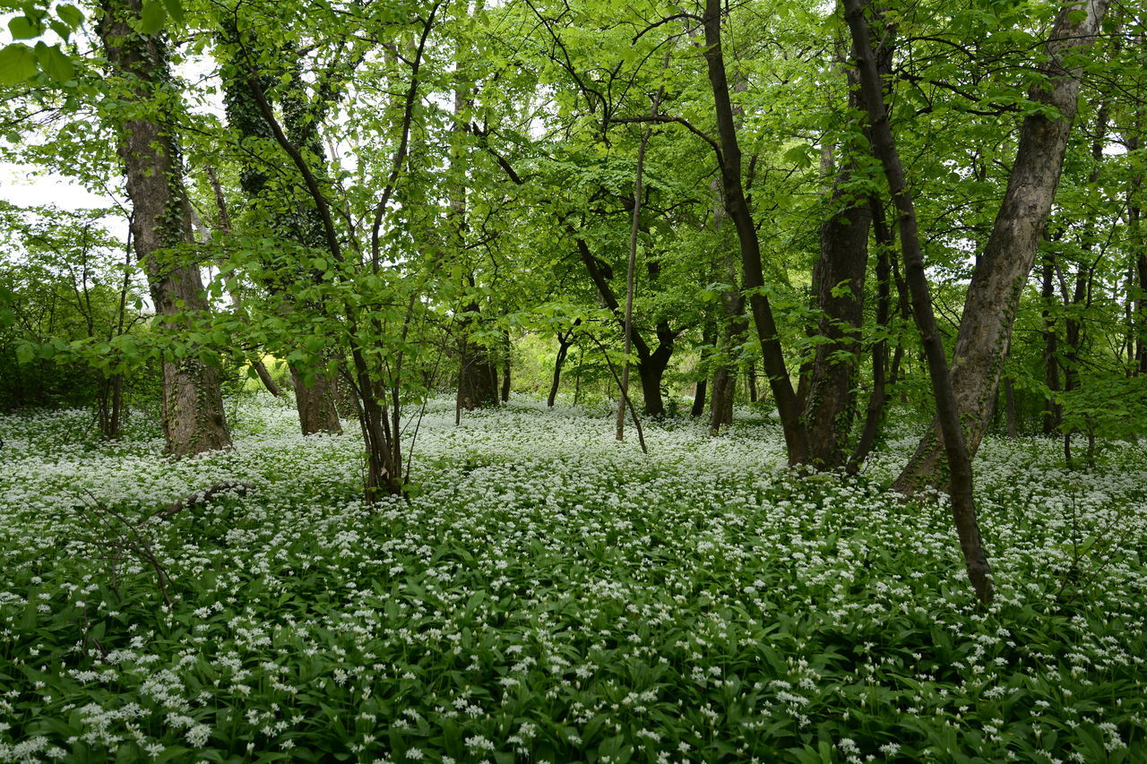 Wild garlic forest Fields Of Flowers Wild Garlic Flowers Wild Garlic Forest Photography Beauty_collection Wonderland Wonderful_places Landscape Outdoors Nature White Color Nikon_photography_ Eyeem4photography EyeEm Gallery Hello World Whiteflower Capture The Moment White Flower Beauty In Nature Wonderful Time It Is Very Beautiful Forest View Field Of Flowers Forest Life Perfect Shot