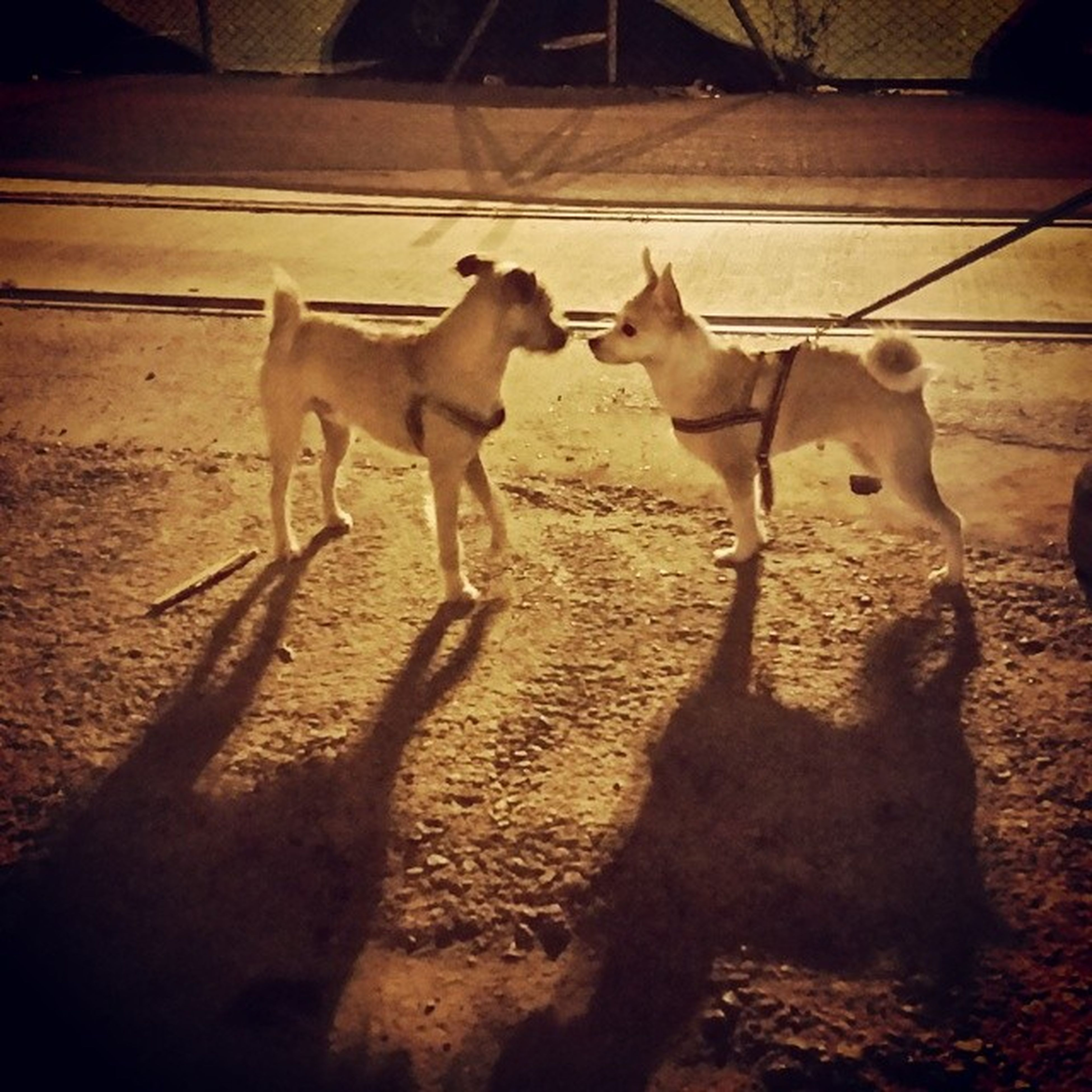 domestic animals, animal themes, mammal, dog, horse, livestock, standing, shadow, full length, sand, one animal, sunlight, pets, two animals, walking, herbivorous, working animal, day, outdoors, street