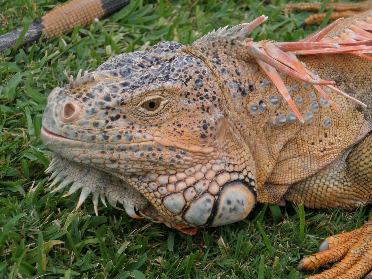 Close-Up Of Iguana On Grassy Field