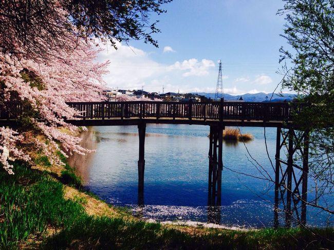 Beautiful day... Pond Sakura Sakura2016 Cherry Blossoms Reflection Water Water Reflections Spring 桜 牛池