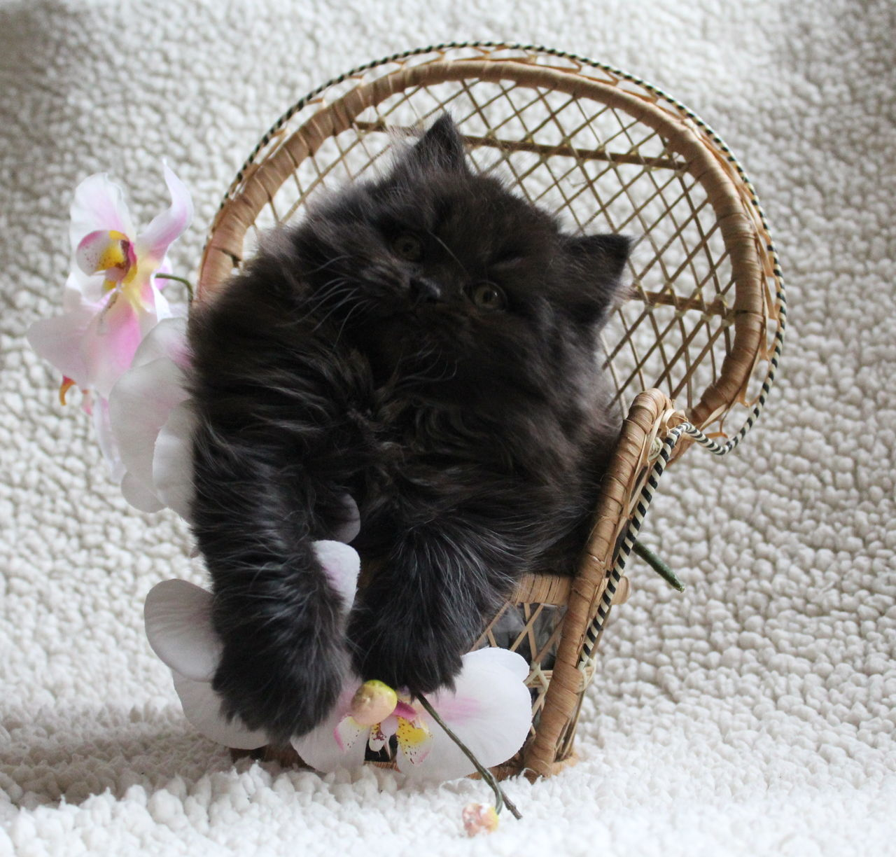 Beautiful stock photos of orchid, Animal Themes, Beauty In Nature, Black Color, Chair