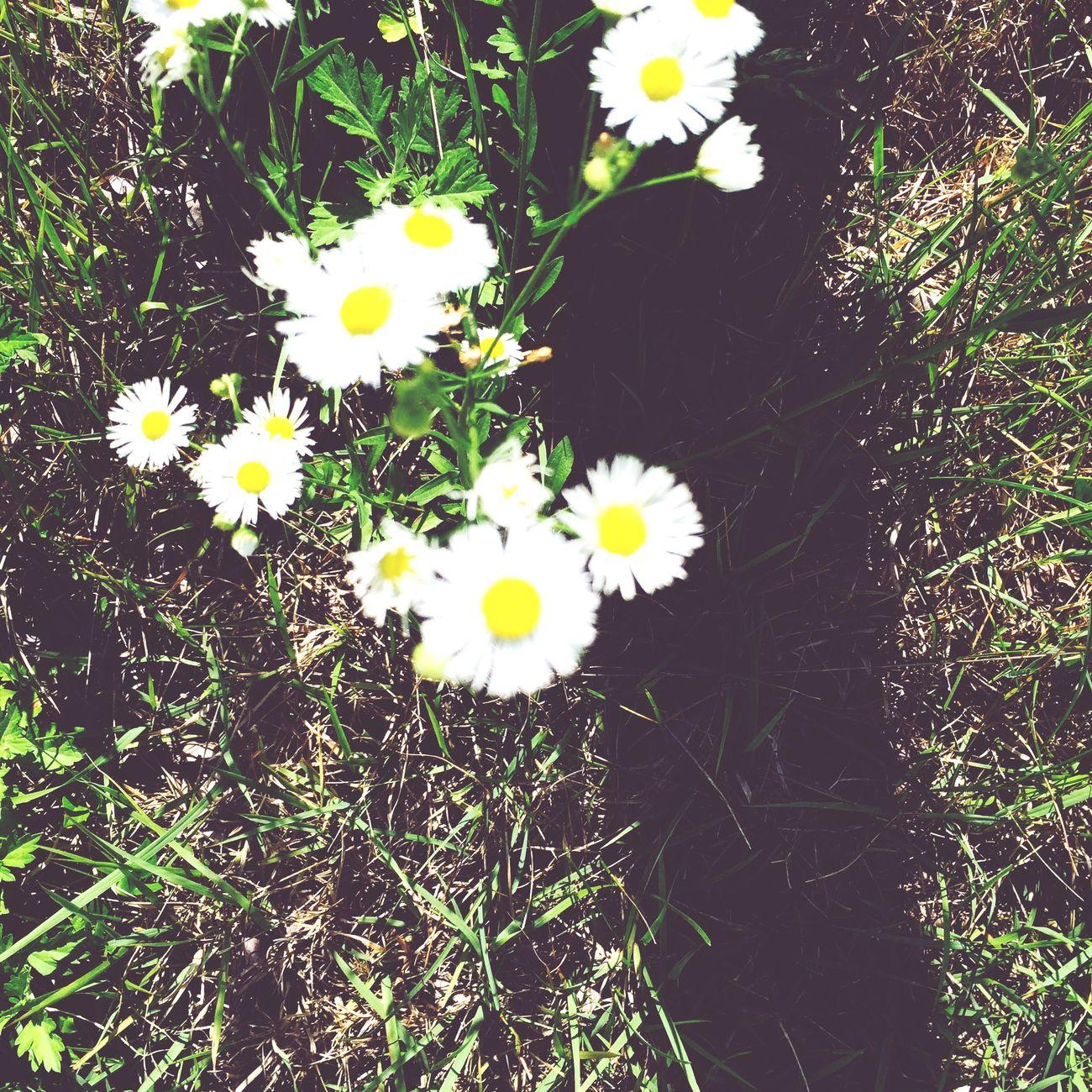 Flower Erigeron