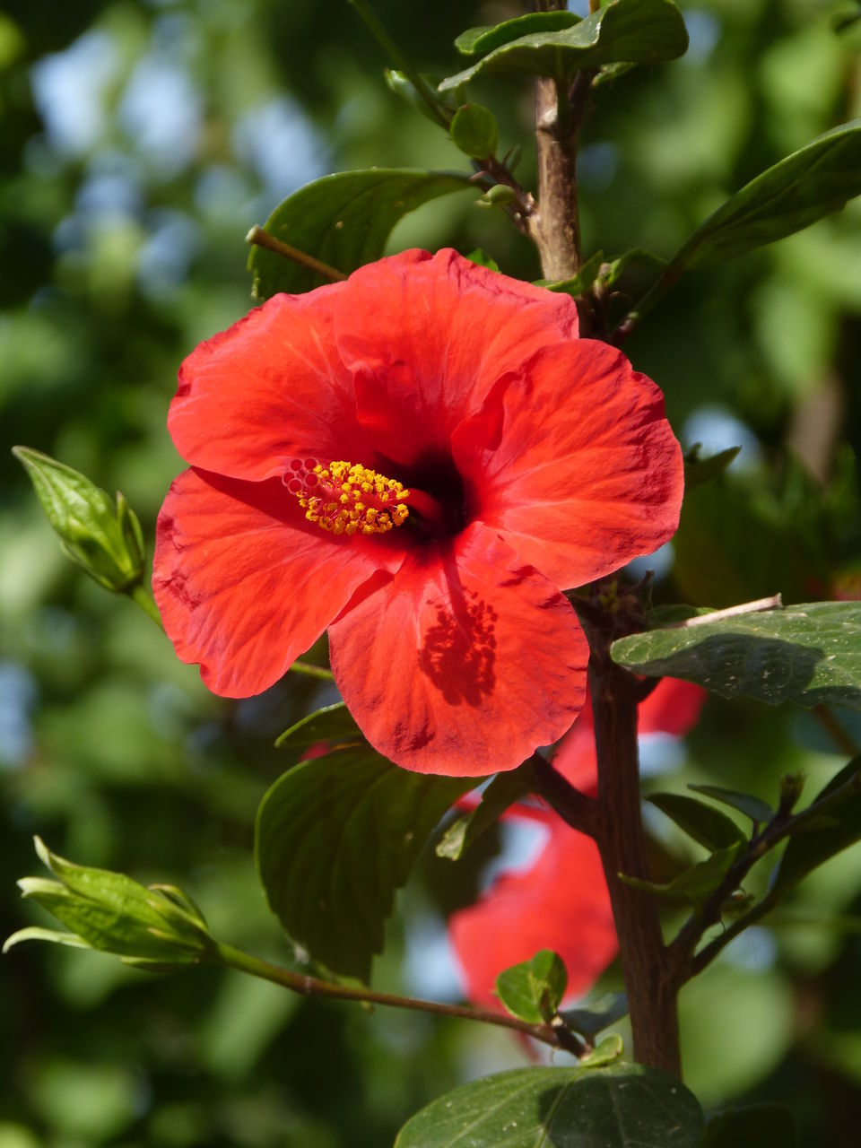 flower, petal, beauty in nature, fragility, red, nature, flower head, freshness, hibiscus, growth, no people, outdoors, day, plant, blooming, close-up, leaf