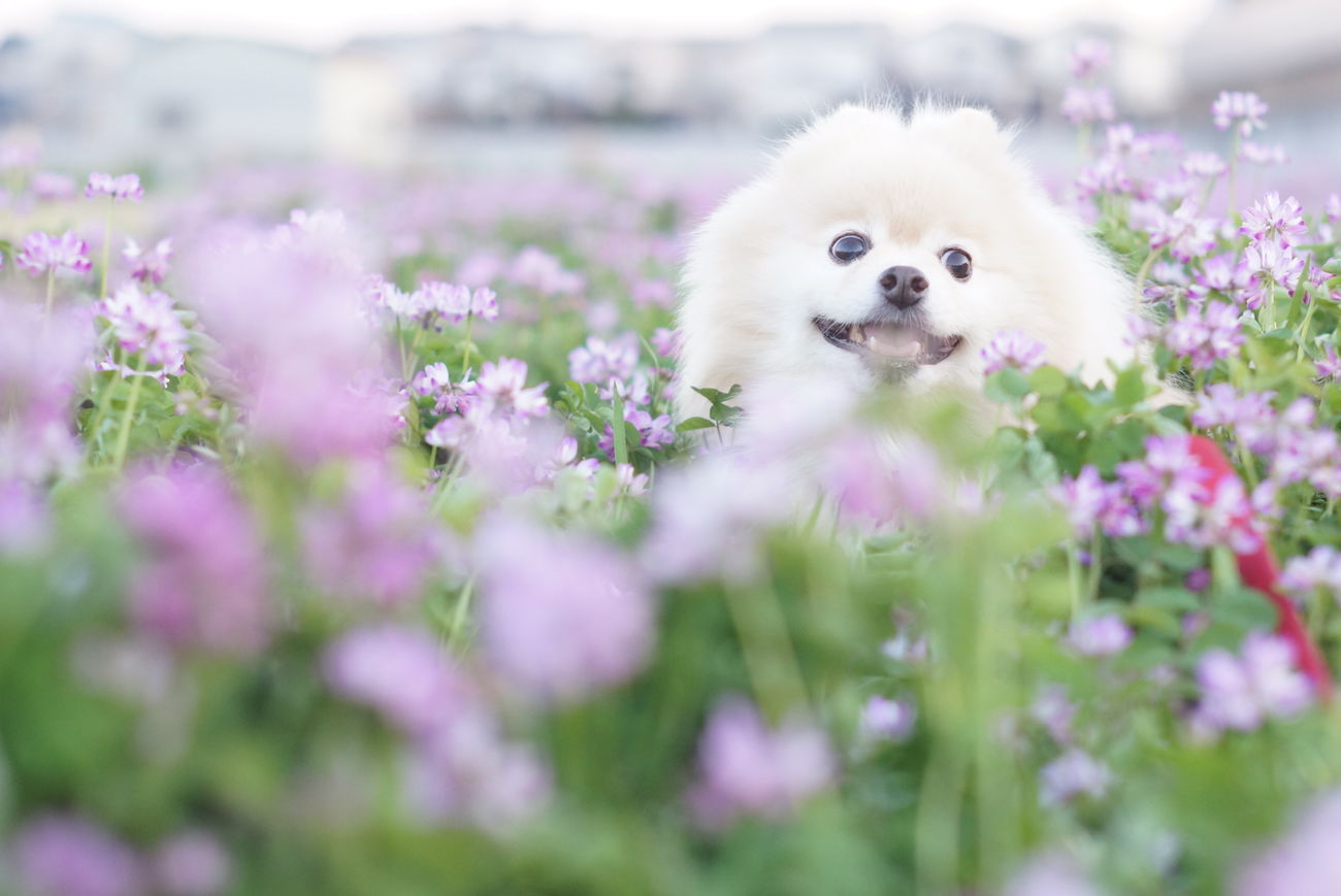 One Animal Animal Themes Nature Day Beauty In Nature Flower Dog Pets EyeEm Dogs Nature Mylovelydog Nofilter Minolta58mmf14 Sony Nex-5t Pomeranian オールドレンズ ポメラニアン Spring 春 散歩 Cute Oldlens
