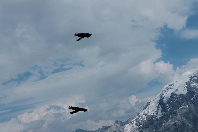 Fujifilm Fujifilm X-E2 Fujilove Passo Stelvio Passo Dello Stelvio Stilfserjoch Birds Birds Flying Birds Flying High Alps Alpine Landscape Alpine Fauna Classic Chrome