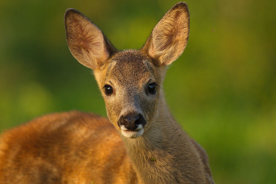 Beautiful stock photos of hirsch, Animal Themes, Animal Wildlife, Animals In The Wild, Color Image