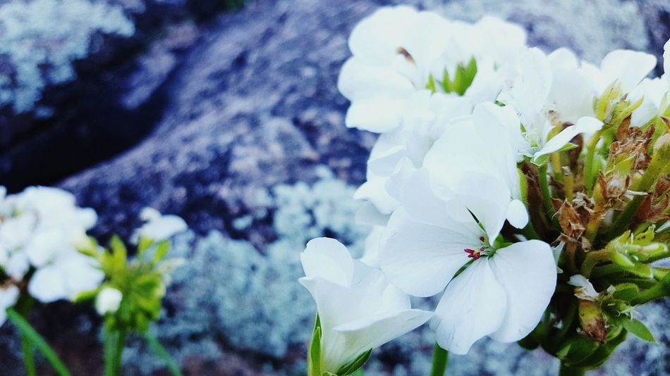 Flower Nature Plant Beauty In Nature Fragility Growth Freshness Petal Close-up Outdoors No People Flower Head Day White Color White Flower White Collection