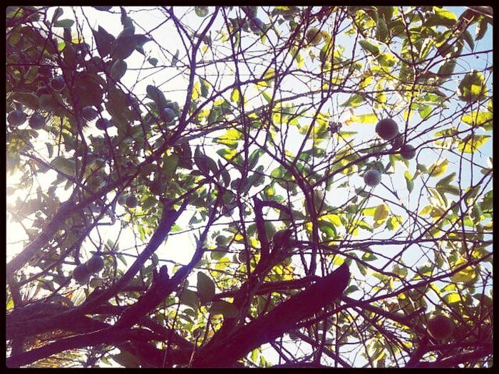 taking photos nature lemon tree green green green!