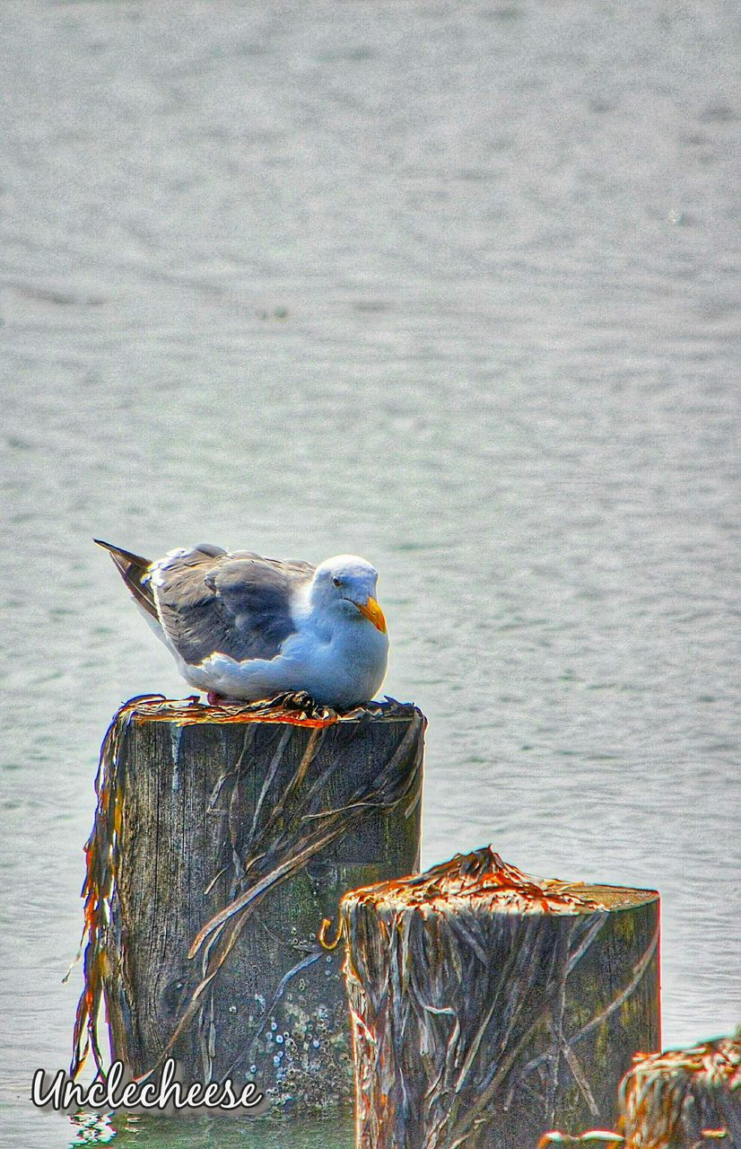 bird, animal themes, animals in the wild, animal wildlife, perching, sea, seagull, nature, one animal, no people, day, water, outdoors, wooden post, close-up, beauty in nature