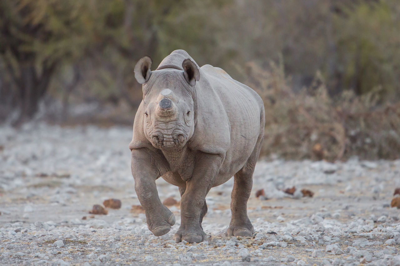 Black rhino with horn removed to prevent poaching, Etosha National Park, Namibia Africa Aggressive Animals BIG Endangered Animals Etosha Etosha National Park Herbivore Herbivorous Horn Ivory Mammal Namibia Nature Okaukeujo Okaukuejo Poaching Protected Rhino Rhinoceros Safari Wildlife