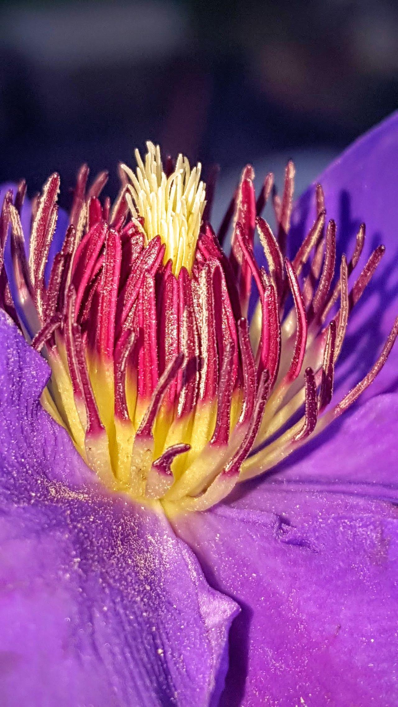 Clematis Clematis Flower Clematis Seed Head Purple Flower Clematis, Flower Flower Head Purple Flowers Flower Purple