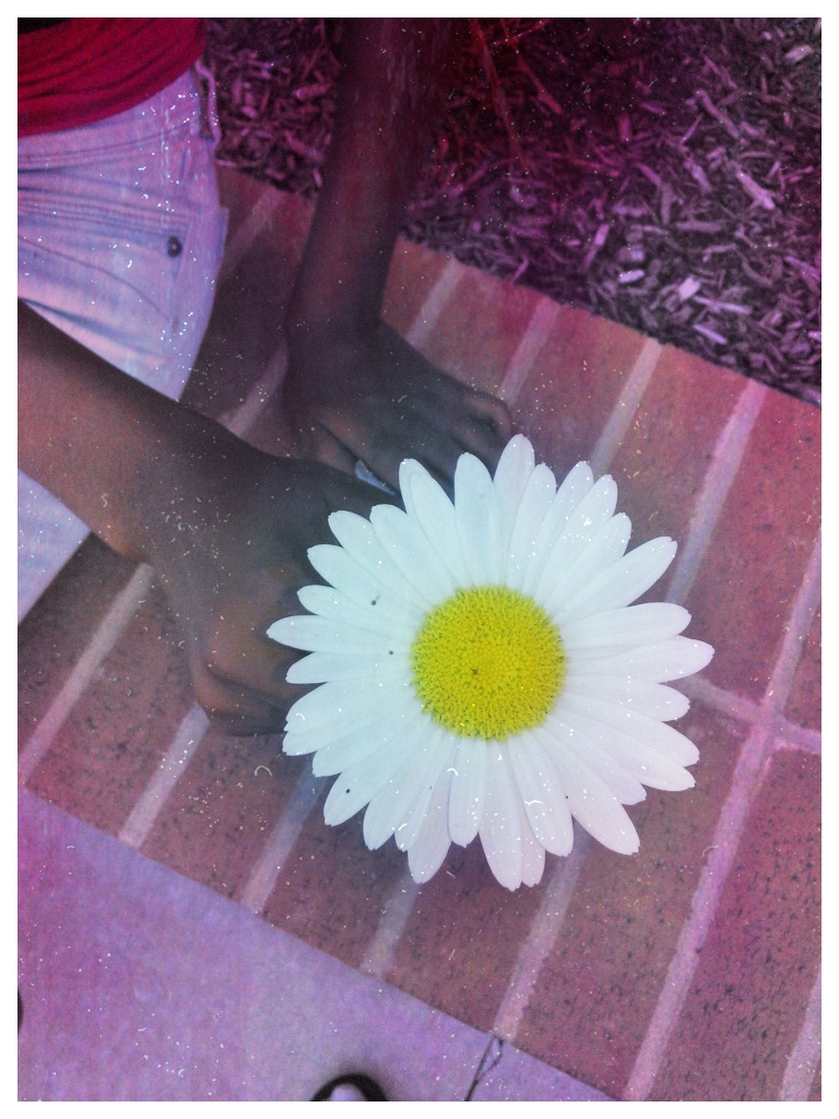 transfer print, flower, auto post production filter, petal, high angle view, flower head, fragility, indoors, freshness, white color, pollen, close-up, daisy, day, nature, beauty in nature, no people, blooming, single flower, sunlight