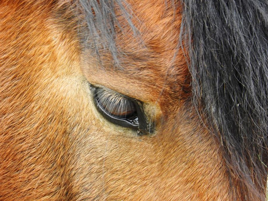Horse Eye One Animal Animal Body Part Livestock Animal Themes Domestic Animals Close-up Mammal Horse Animal Head  No People Animal Eye Day Outdoors Nature