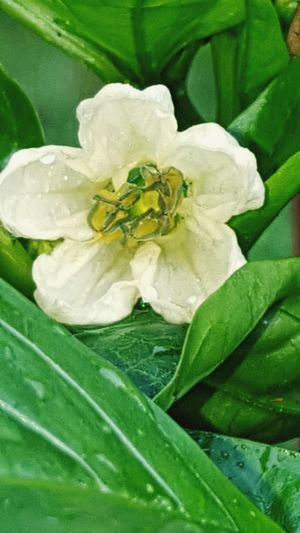 Flower Leaf Green Color Nature Plant Freshness Fragility White Color Petal Close-up Beauty In Nature Flower Head Growth No People Day Outdoors
