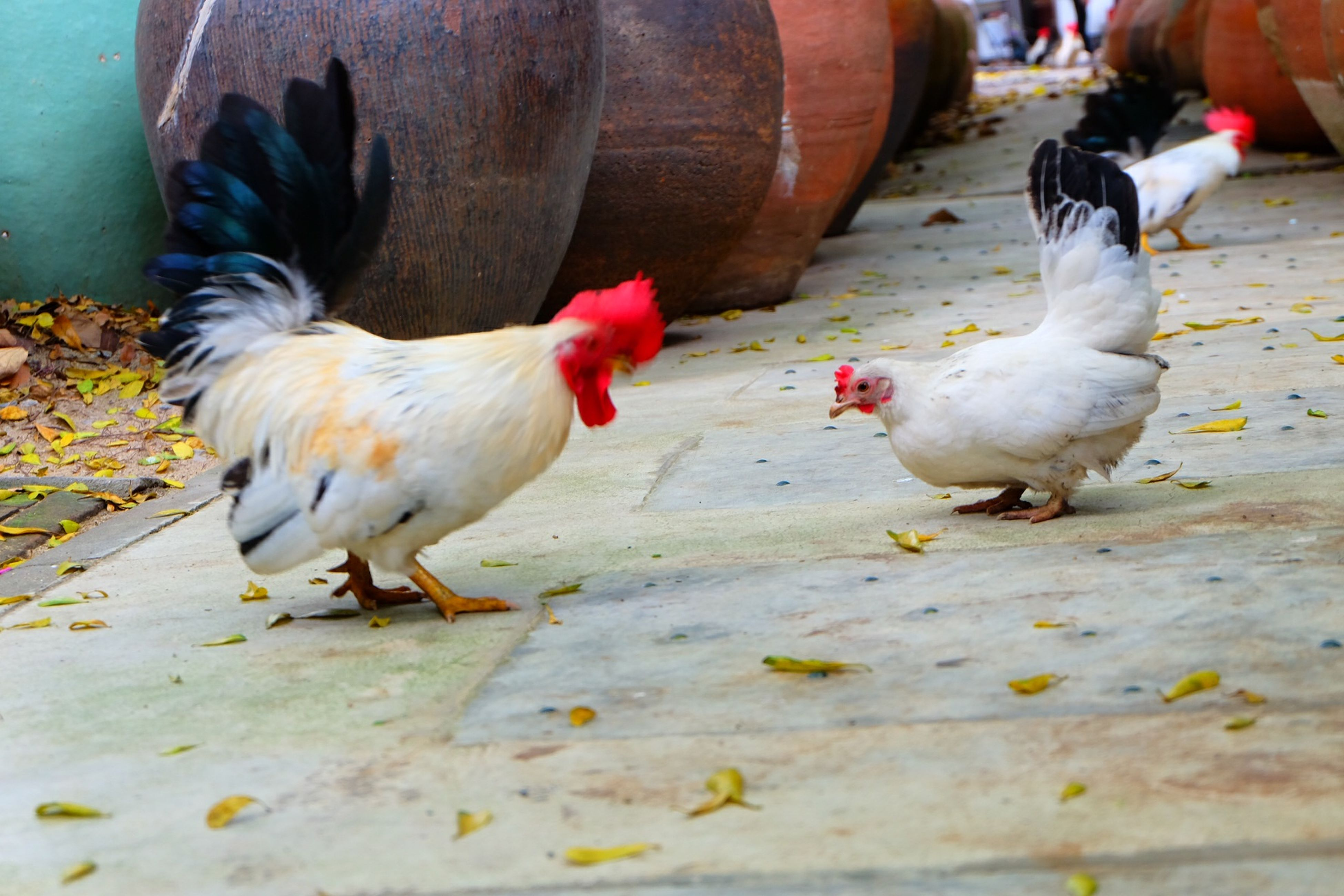 animal themes, bird, animals in the wild, wildlife, two animals, togetherness, three animals, medium group of animals, domestic animals, pigeon, chicken - bird, outdoors, high angle view, full length, street, day, nature, zoology, vertebrate, livestock