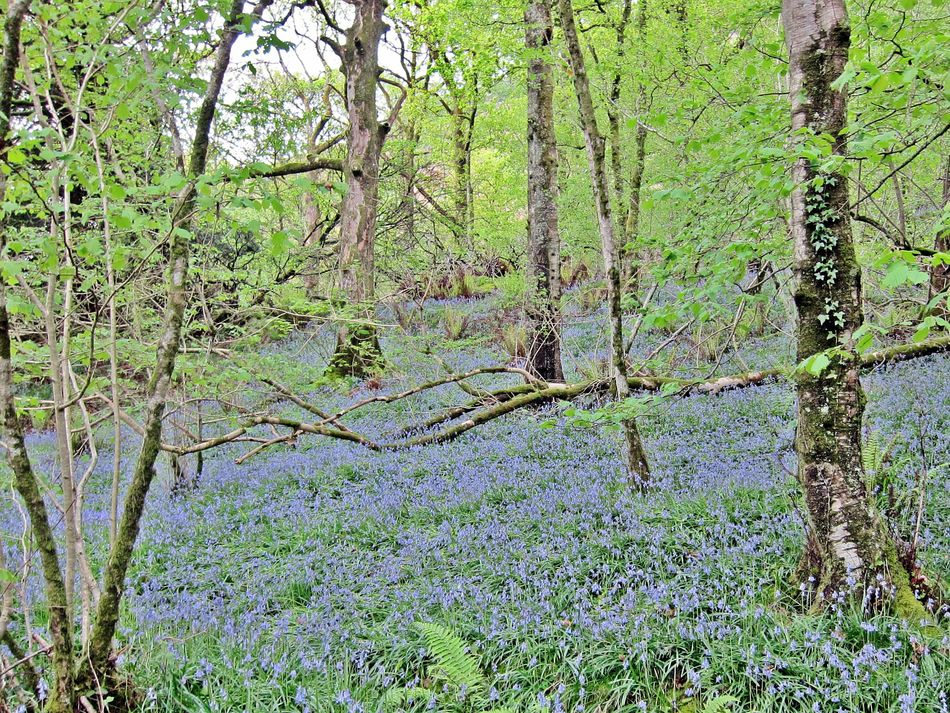 Bluebells in Grizedale Blue Wave Grizedale Grizedale Forest  Greenery Trees Bluebells Nature