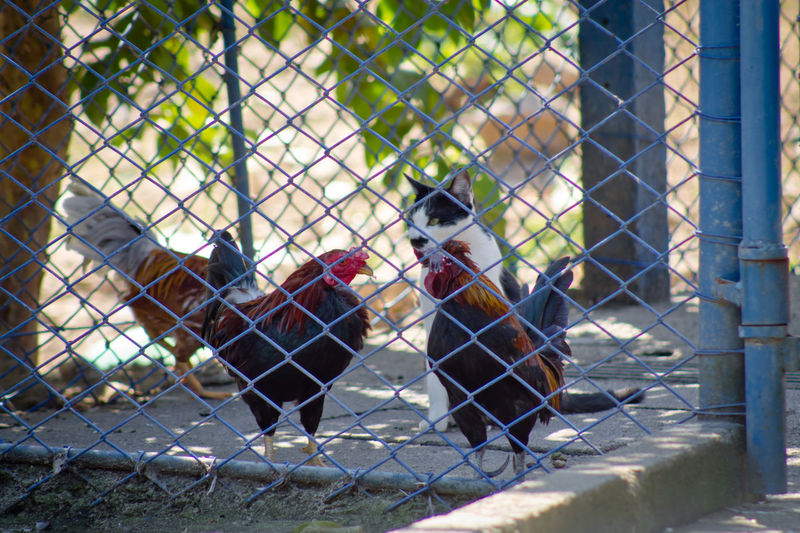 Cage Cat Chainlink Fence Chicken Day Focus On Foreground Hen Keeper Lifestyles Outdoors Nature's Diversities