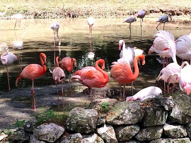 Flamingo Rosy Peach Wildlife Wildlife & Nature Wildlife Photography Wildlife Photos Malaysia ASIA ExploreEverything Exploring