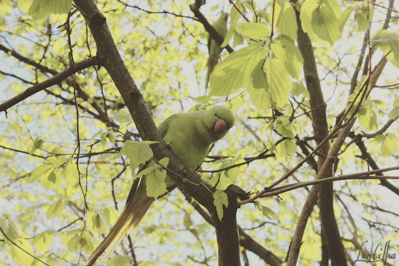 Tree Low Angle View One Animal Nature Animal Themes Animals In The Wild Green Color Leaf No People Animal Wildlife Bird Beauty In Nature Outdoors Day London Lentilka Canoma Photography Canon Looking At Camera Free Summer Tree Treetastic