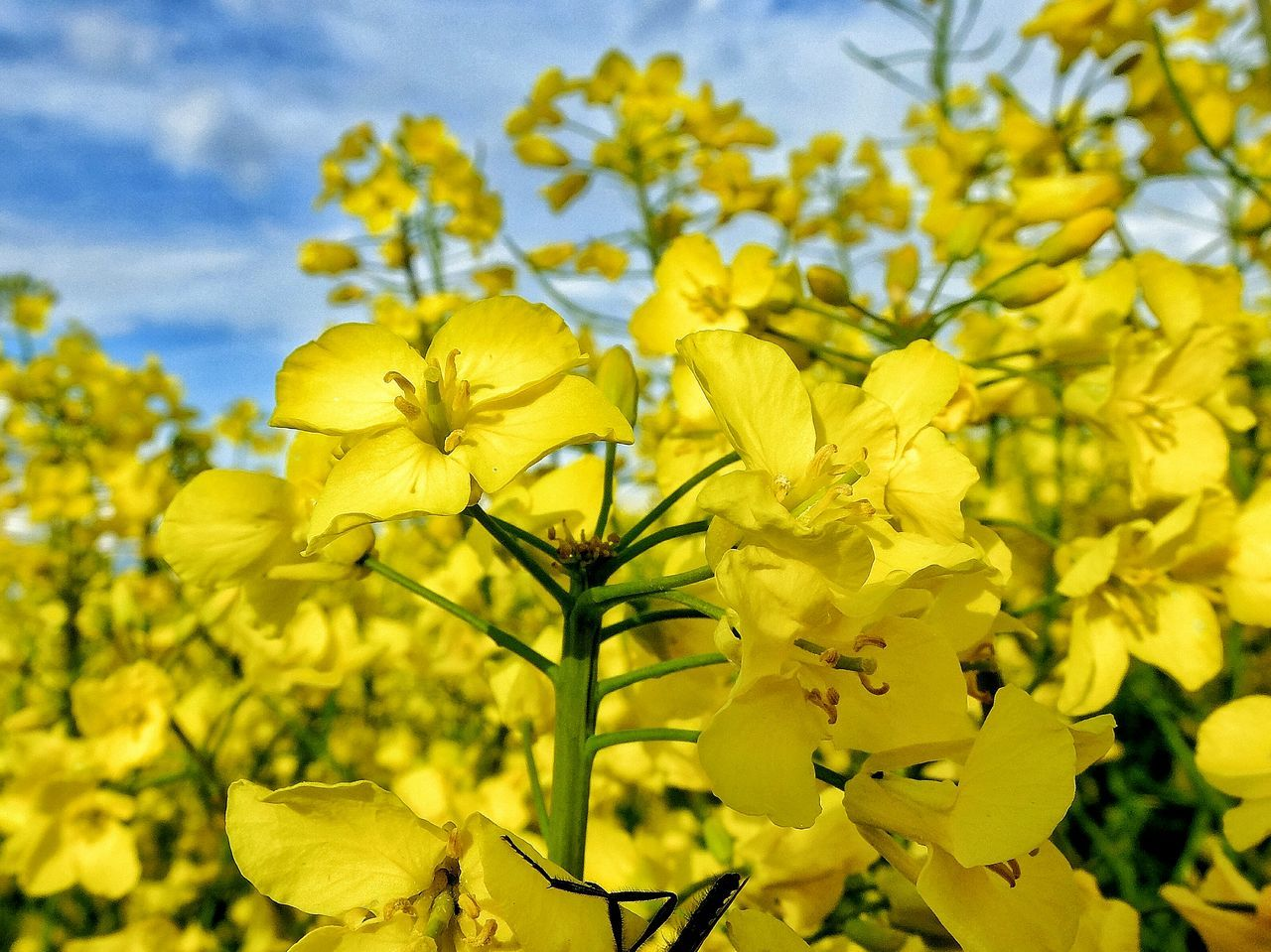 Yellow Plant Nature Flower Sky Beauty In Nature Agriculture Growth Outdoors Freshness Day No People Flower Head Rural Scene Tree Fragility Close-up Poland Warmia Summer Farm
