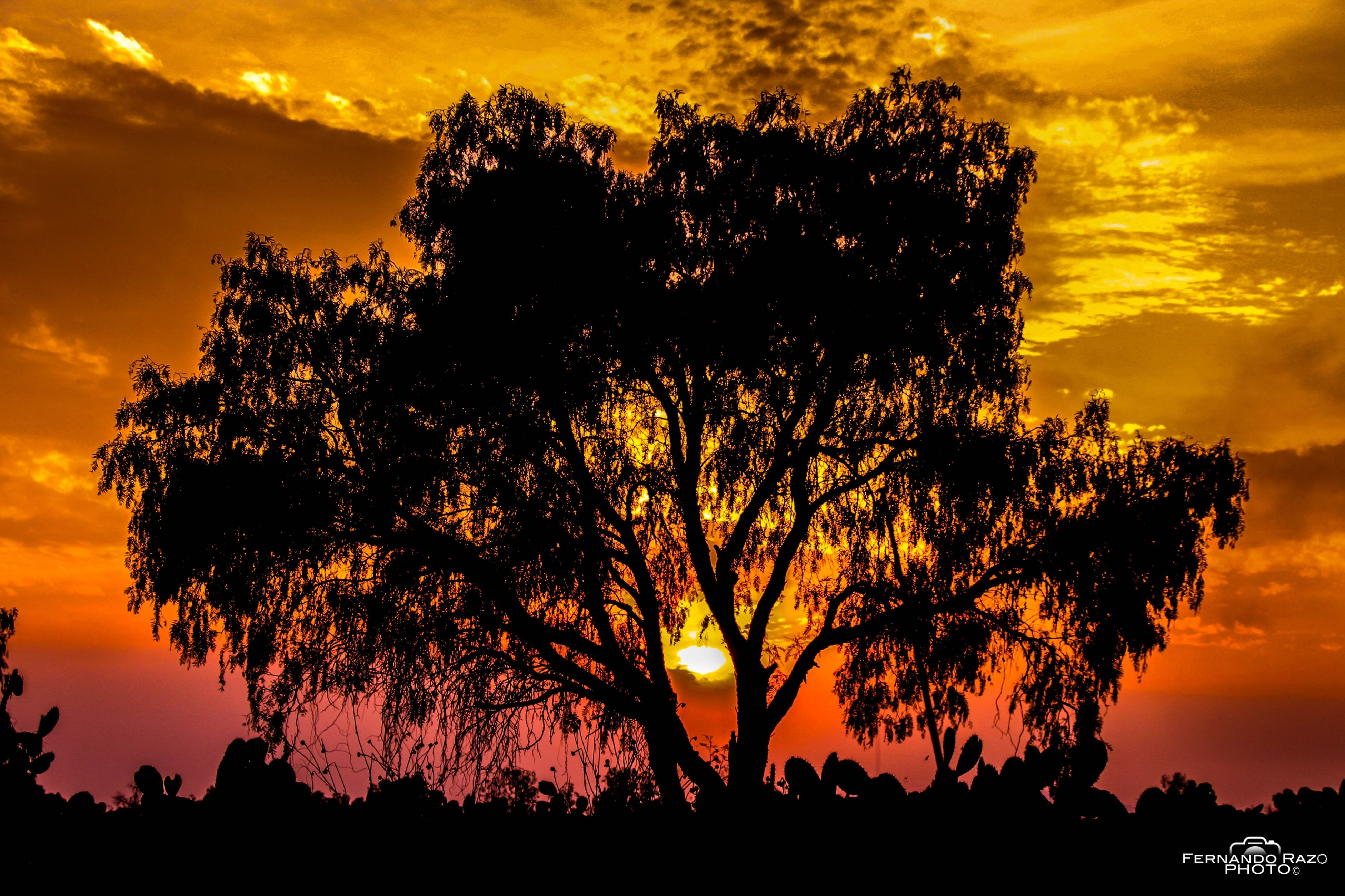 sunset, silhouette, tree, sky, orange color, beauty in nature, tranquility, scenics, tranquil scene, nature, low angle view, cloud - sky, idyllic, dramatic sky, growth, branch, majestic, outline, cloud, outdoors