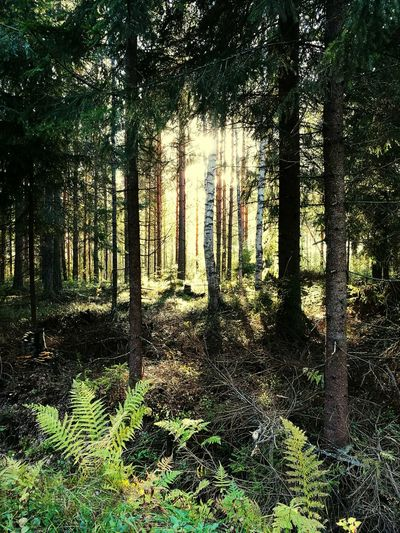 Tree Tree Trunk Forest Growth Nature Tranquility Tranquil Scene WoodLand Beauty In Nature Plant Scenics Non-urban Scene Day No People Green Color Woods Growing Green