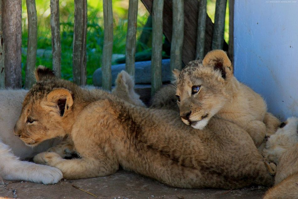 Africa Animal Themes Animal Wildlife Animals In The Wild Day Lion Lion - Feline Lion Cub Lions Mammal Nature No People Outdoors Relaxation Small South Africa Wild Wildlife