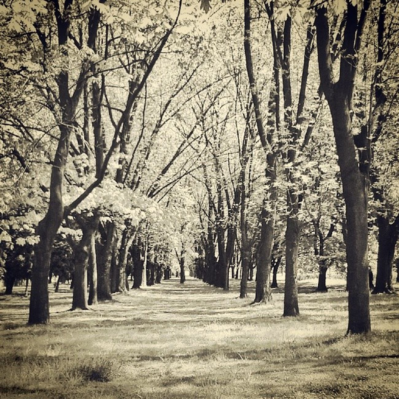 Trees Ic_trees Rsa_trees Creative composition nothingisordinary urbangardenersrepublic urban_naturelover zielonomi spring cienie bnwhisperers bnwbutnot bnwbutwhite bnw_europe bwstreet bw_poland loves_poland nature_shooters loves_naturelife youmobile igerspol topluxophotos mobilnytydzien jj_streetphotography