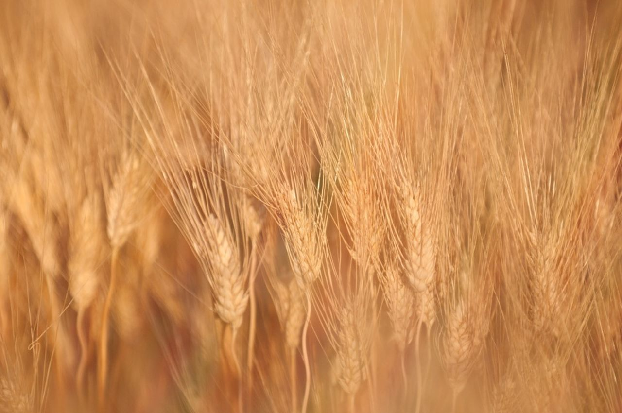 cereal plant, agriculture, crop, wheat, growth, field, farm, ear of wheat, barley, rural scene, nature, rye - grain, backgrounds, plant, no people, gold colored, close-up, food, beauty in nature, outdoors, day