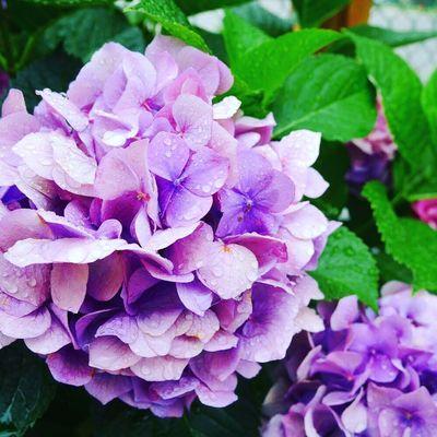 Flower Hydrangea Rainy Day